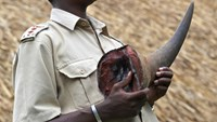 A security guard at a wildlife conservancy holds a Rhino tusk from a Rhino shot dead by poachers in a file photo taken in 2010. Photo: AFP