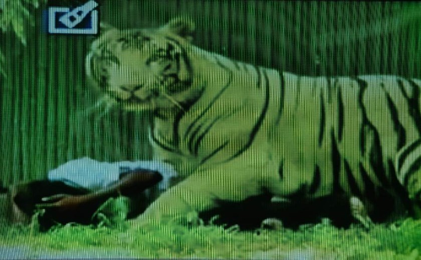 A television frame grab from Indian news channel Headlines Today shows a white tiger on top of a youth at the Delhi Zoo in New Delhi on September 23, 2014