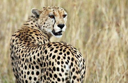 A cheetah observes the plains in Masai Mara game reserve in this file photo from July 24, 2008.