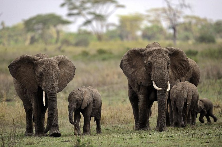 Chinese diplomatic and military staff went on buying sprees for illegal ivory while on official visits to Tanzania, sending prices soaring, an environmental activist group says