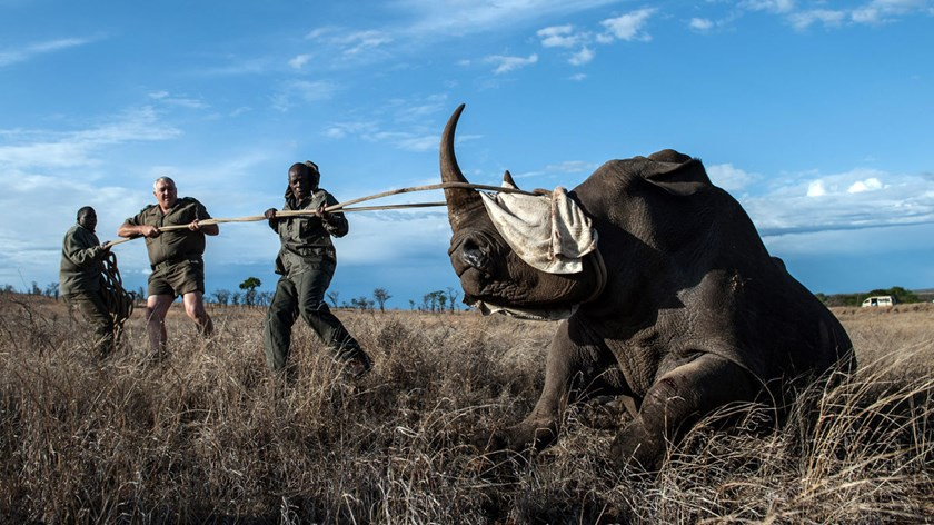 Dr. Marius Kruger, center, and members of the Kruger National Park, keep the head of a rhino up during a white rhino relocation capture, on Oct. 17, 2014.
