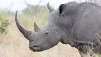 A white rhino stands in Kruger National Park, South Africa. Most rhinos in South Africa are white rhinos, the bigger of the two types of the animal found in Africa.