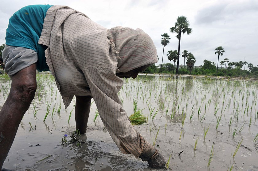 A woman labourer plants paddy saplings in the fields on the outskirts of Hyderabad, India.