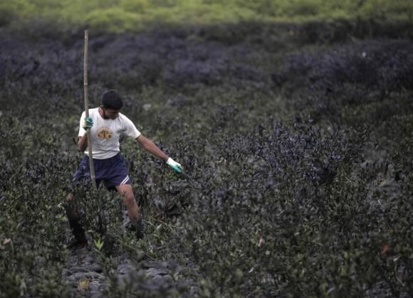 A cadet cleans mangroves covered in oil slick near the seaside in Mumbai, India,August 21, 2010.