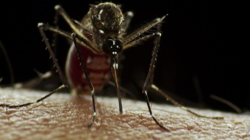 The Aedes Aegypti mosquito, the main transmitter of dengue. Dengue is carried by mosquitoes and is common in the tropics, with Brazil and Indonesia reporting the most cases.