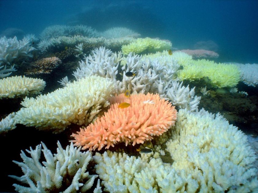 An undated handout photo received from the Australian Institute of Marine Science on October 2, 2012 shows bleaching on a coral reef in Australia's Great Barrier Reef