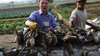 """Tran Quang Thieu (L), nicknamed """"Rat King"""", and farmer Nguyen Huu Binh collect trapped rats in a field on the outskirts of Hanoi, on November 20, 2014"""