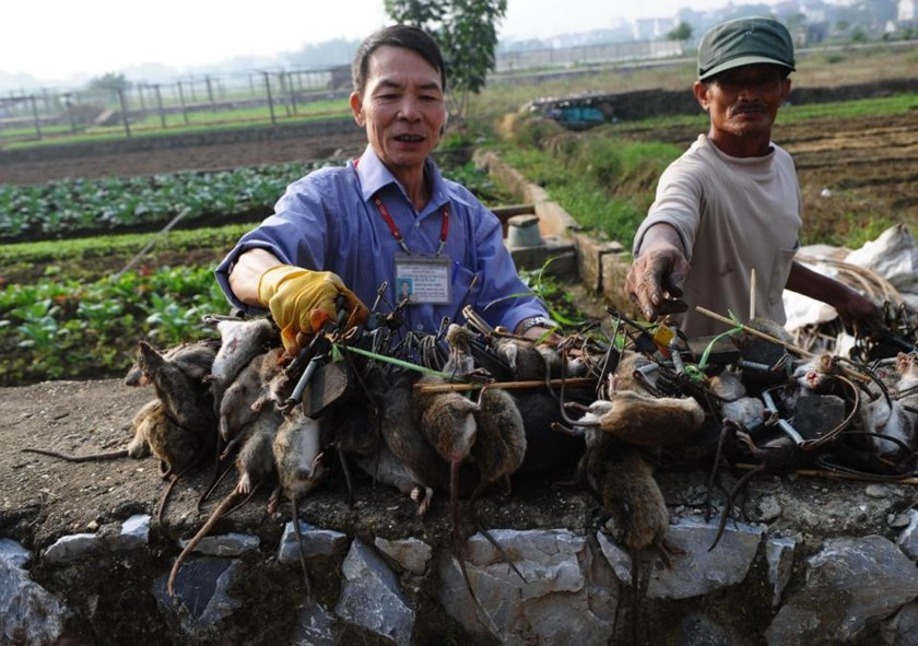 "Tran Quang Thieu (L), nicknamed ""Rat King"", and farmer Nguyen Huu Binh collect trapped rats in a field on the outskirts of Hanoi, on November 20, 2014"