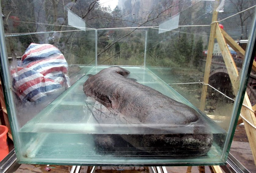 File photo of a Chinese giant salamander, lying in a glass enclosure during the China International Conservation festival in Zhangjiajie, central China's Hunan province, in 2005
