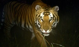 Tiger nations to set up anti-poaching network
