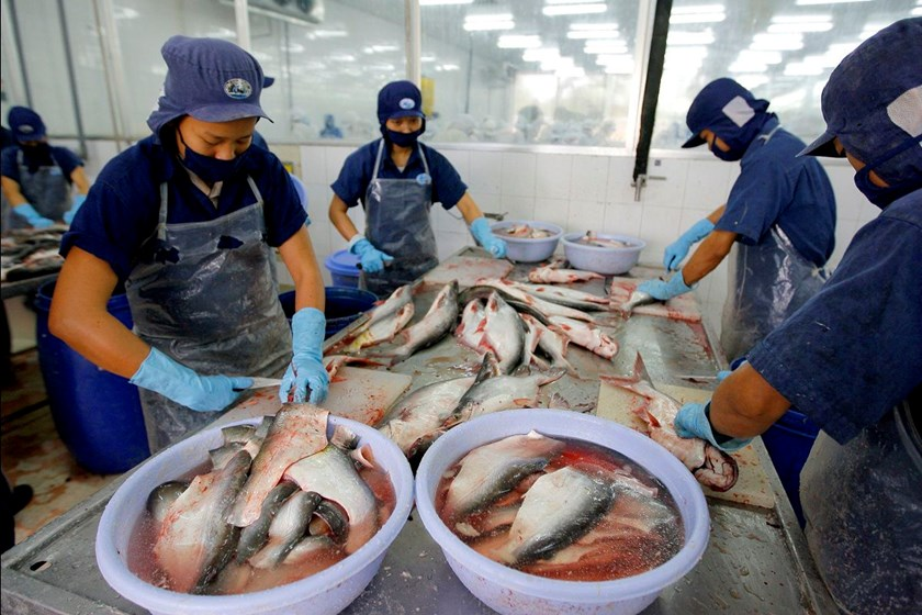 Workers process fillet from catfish in Faquimex company in BenTre province, situated in the delta of the Mekong River in Vietnam.