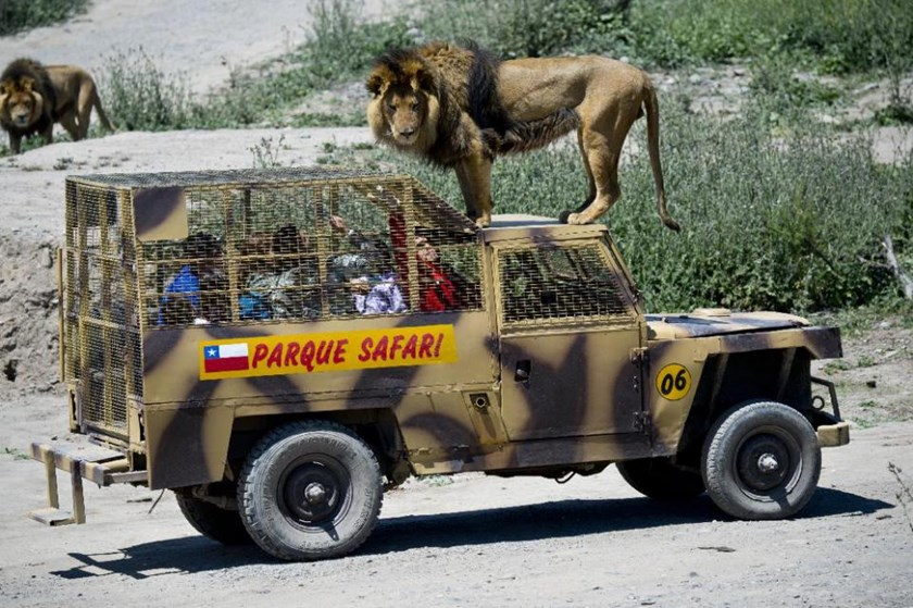 Parque Safari in Chile, a sanctuary for mistreated circus animals, turns the traditional zoo-going experience on its head