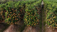 A farmer sprays pesticide on kumquat trees at a private garden in Van Giang district in the northern Vietnamese province of Hung Yen.