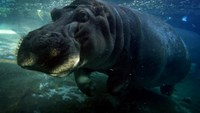 A hippopotamus swims in its enclosure at the San Diego Zoo, in California, on January 13, 2015