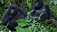 Two of four strains of the virus that can cause AIDS come from gorillas in southwestern Cameroon, an international team of scientists has reported in the United States