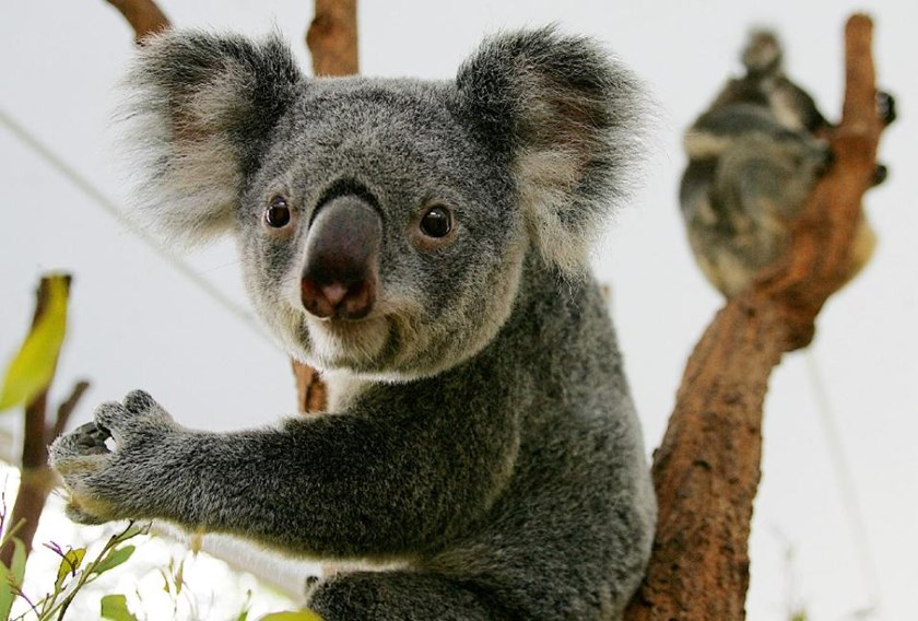Hundreds of starving koalas killed in Australia