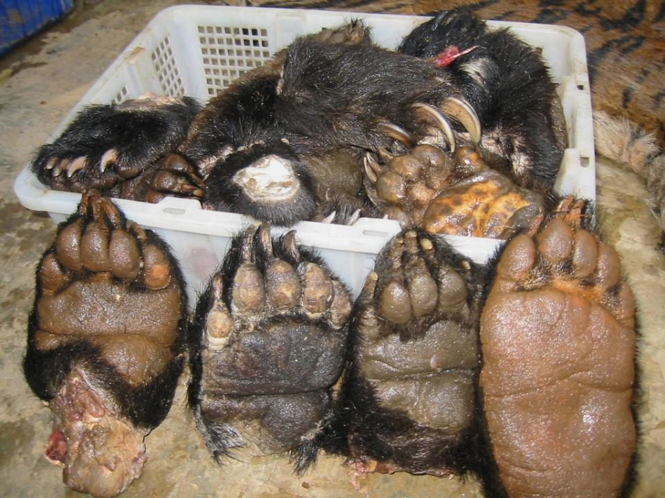 Tiger Meat Bear Paws Openly Available In Laos Ngo 40068 moreover Art furthermore Belize Resorts together with Caribbean Wildlife Trinidad And Tobago besides Animal And Wildlife Trips. on trinidad and tobago rainforest