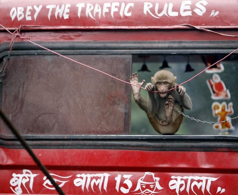 A pet monkey rides on a recovery truck in Kolkata in this July 28, 2009 file photo.