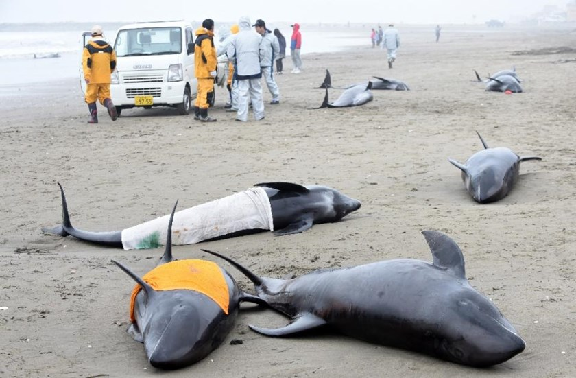 Local government officers stand beside melon-headed whales washed up on the shore of Hokota, northeast of Tokyo, April 10, 2015