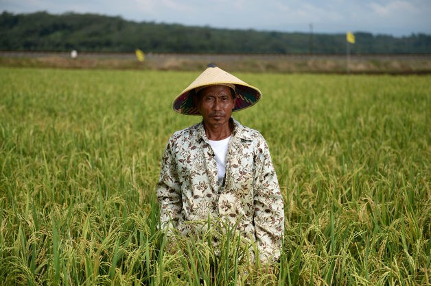 Rice farmer Wari in his field in Ponowareng village, Batang regency, Central Java province.