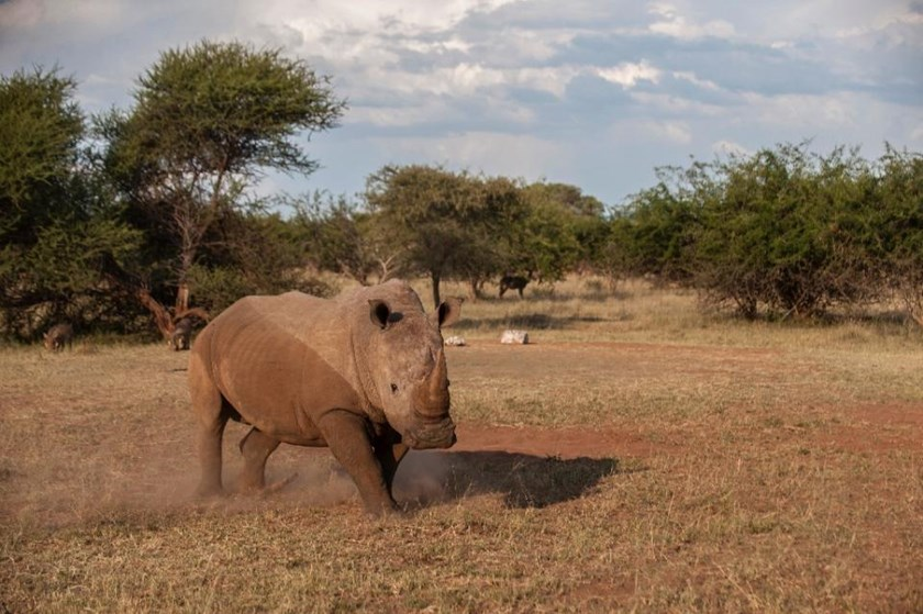 South Africa said that more rhinos were poached in the first four months of 2015 than in the same period last year as the scourge continues to hit record levels