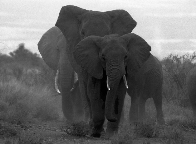 Three bulls converge in Amboseli, Kenya in 2007. Hunted for their tusks, elephants are threatened with extinction