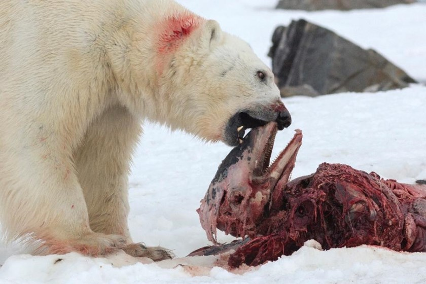 A polar bear eats a white-beaked dolphin in the Smeerenburgfjorden fjord, in the Norwegian archipelago of Svalbard, Norway, on July 4, 2014