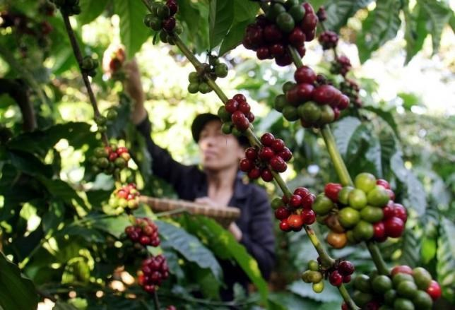 H'Gai collects coffee beans at her coffee garden outside Vietnam's Central highland Buon Ma Thuot city October 24, 2006.