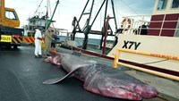 An official measures a giant basking shark that was accidentally picked up by a fishing trawler in the Bass Strait off the Australian mainland's most southeastern point