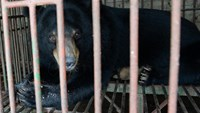 A captive moon bear is seen inside a metal cage at a private bear farm which was targeted by animal protection group Animals Asia during a four-day rescue operation, in Vietnam's north-eastern Quang Ninh province, on June 23, 2015