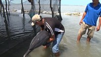 Beached dolphin rescued in Vietnam beach town