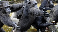Chimpanzees used by The New York Blood Centre for testing and released on Monkey Island in Liberia face starvation as the island has no fresh water or food and the US body has withdrawn funding for their care