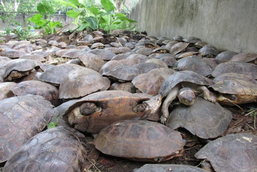 More than 4,000 live freshwater turtles and 90 dead ones were found in a pond inside a remote warehouse on the western island of Palawan four weeks ago in one of the country's biggest wildlife rescues