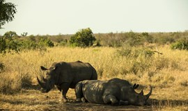 Rhinos, tigers may be protected by heart monitor tracking device