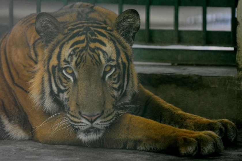Bangladesh police have shot dead six alleged tiger poachers as it launches a crackdown following a drastic fall in the number of big cats