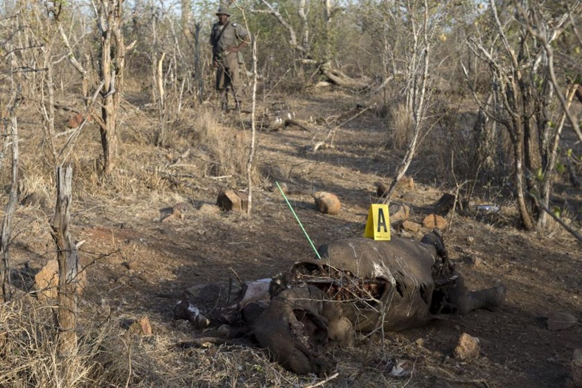 A game ranger stands guard as police investigate the scene around the carcass of a black rhinoceros that had been shot by poachers in the Kruger National Park, in this picture taken August 4, 2015.