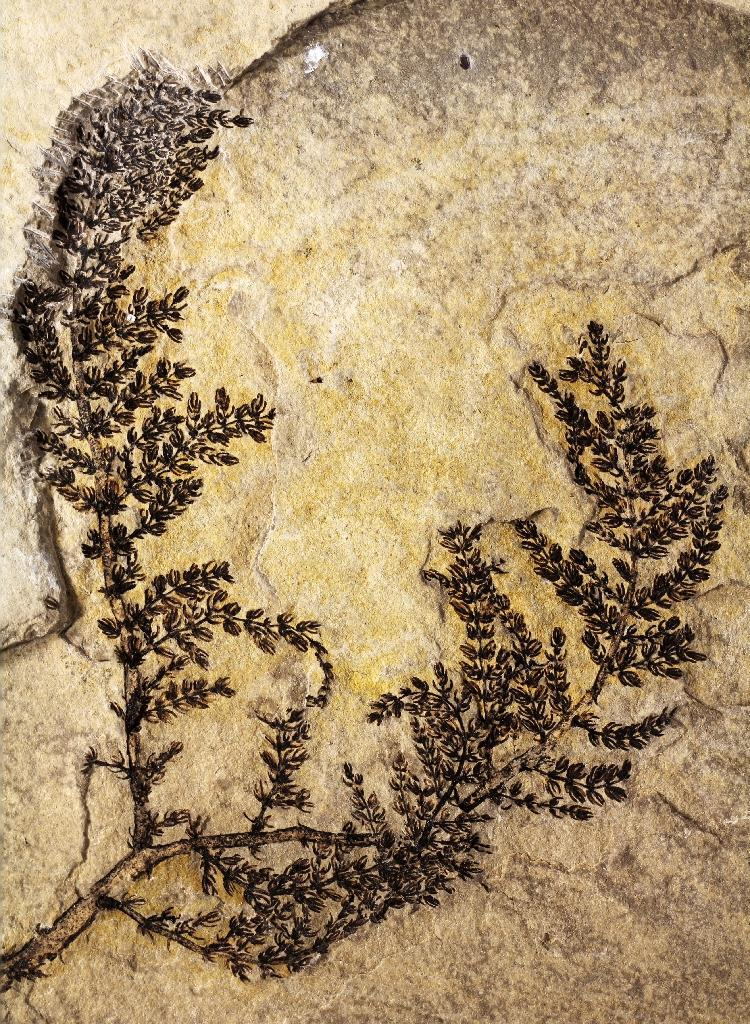Plant from 130 million years ago is among 'first flowers': study
