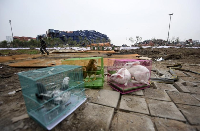 A soldier (back) with gas mask on, run behind animals in cages, (from L to R) pigeons, chickens and rabbits, which are placed by authority as a test of the living conditions near the site of last week's blasts at Binhai new district in Tianjin, China, August 19, 2015.