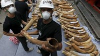 Officials hold confiscated elephant tusks before destroying the ivory at the Department of National Parks, Wildlife and Plant Conservation, in Bangkok, Thailand, August 26, 2015.