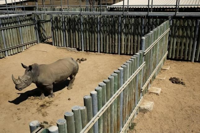 A rhino is kept in an enclosure at the Kruger national park in Mpumalanga province August 26, 2014.