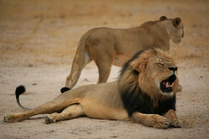"This handout picture taken on October 21, 2012 and released on July 28, 2015 by the Zimbabwe National Parks agency shows a much-loved Zimbabwean lion called ""Cecil"" which was killed by an American tourist on a hunt using a bow and arrow"