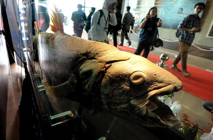Coelacanth fossils have been dated to about 400 million years ago, and the fish was thought to have died out towards the end of the Mesozoic era