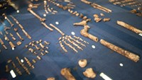 The skeleton of Homo Naledi, a newly discovered human ancestor displayed during the unveiling of the discovery in Maropeng on September 10, 2015