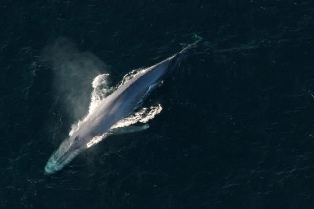 A blue whale surfaces to breathe in an undated picture from the U.S. National Oceanic and Atmospheric Administration (NOAA).