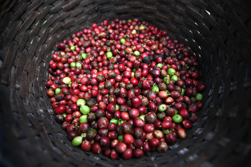 Ripe robusta coffee cherries at Banaran coffee plantation in Bawen, Central Java, Indonesia, on Saturday, Sept. 18, 2010. Photographer: Dimas Ardian/Bloomberg