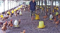 Vietnam cries fowl as U.S. chicken suit shows TPP flip side