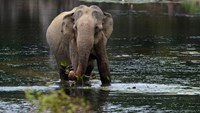 As elephants evolved, their bodies made many extra copies of a gene that prevents tumors from forming