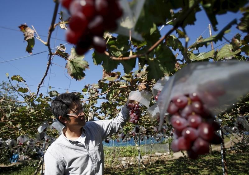 Soichi Furuya, a third generation fruit farmer, stands near grape vines at a fruit farm in Fuefuki, Yamanashi prefecture, Japan October 8, 2015.
