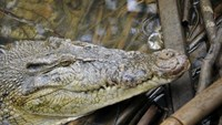 Indonesian officials say crocodiles would make better prison guards, as they cannot be bribed