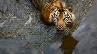 Indonesia's anti-drugs czar wants tigers and piranhas as prison guards
